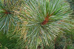 Насіння Сосна́ сибі́рська (Pinus sibirica)