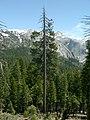 Pinus benthamiana 08321.JPG