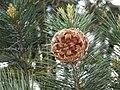 Pinus gerardiana India8.jpg