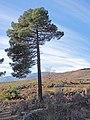 Pinus pinaster 20131229.jpg