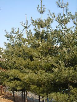 Pinus strobus in Incheon.JPG