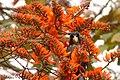 Pionus chalcopterus (Cotorra maicera) - Flickr - Alejandro Bayer (3).jpg