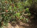 Pistacia lentiscus CBMen 6.jpg