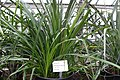Pitcairnia spicata - Botanischer Garten - Heidelberg, Germany - DSC01234.jpg