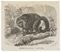 Pithecia hirsuta - 1700-1880 - Print - Iconographia Zoologica - Special Collections University of Amsterdam - UBA01 IZ20200234.tif
