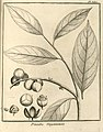 Pitumba guianensis Aublet 1775 pl 385.jpg
