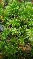 Plagiomnium undulatum 141715702.jpg