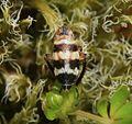 Planaphrodes sp. (possibly bifasciata) - Flickr - S. Rae (3).jpg