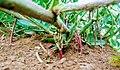 Plant d'arachide en croissance.jpg