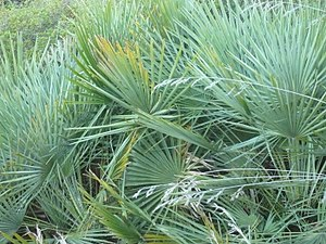 Planta que puede usarse para hacer escobas.JPG