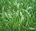 Plantago lanceolata3 ies.jpg