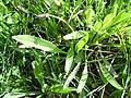 Plantago lanceolata Habitat 2010-4-02 SierraMadrona.jpg