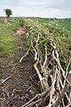 Plashed hedge - geograph.org.uk - 1588344.jpg