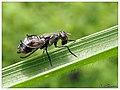Platystomatidae (15435729280).jpg