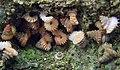 Plectostoma obliquedentatum.jpg