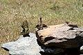 Ploceus baglafecht and Passer rufocinctus in Kenya 1.jpg