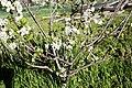 Plum blossoms - spring.jpg