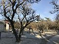 Plum trees in Tsunashiki Temman Shrine 2.jpg