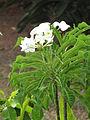Plumeria pudica Starr-090806-3846 Wailuku.jpg