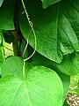 Podlaskie - Suprasl - Kopna Gora - Arboretum - Aristolochia macrophylla - leaf.JPG