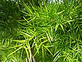 Podocarpus Coonoor ph 02.jpg