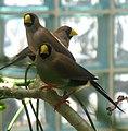 Poephila personata -Toledo Zoo, Ohio, USA-6a.jpg