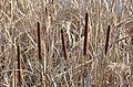 Poertschach Johannaweg Park Typha angustifolia 19122013 455.jpg