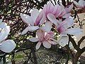 Poland.luban.magnolia01.jpg