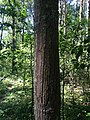 Polistovsky Nature Reserve. Bear's claws scratches on a tree trunk.jpg