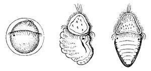 Ontogeny of Polyplacophora: First image is trochophore, second is stadium in metamorphosis, third is juvenile Polyplacophora.
