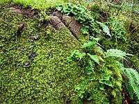 Polypodium glycyrrhiza.jpg
