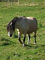 Pony at Thorpe Farm - geograph.org.uk - 554492.jpg