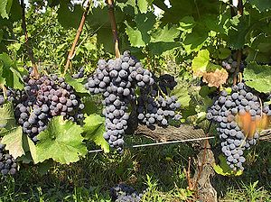 Xinomavro grape variety.