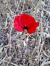 Poppy - Παπαρούνα.jpg