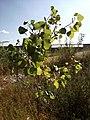 Populus Deltoides, Eastern Cottonwood - panoramio.jpg