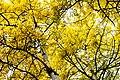 Populus tremuloides (7945534148).jpg