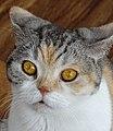 Portrait of a Feline - Cat 'n' A Cup Cafe - Chiang Rai - Thailand (34472114253).jpg
