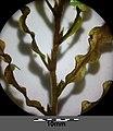 Potamogeton crispus sl7.jpg
