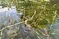 Potamogeton perfoliatus kz05.jpg