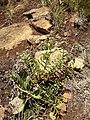 Potentilla visianii P7150040^.jpg
