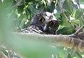 Powerful Owl (Ninox strenua) (30566633253).jpg