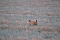 Prairie Chicken (25985243680).jpg