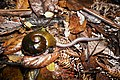 Predatory land snail feeding on an earthworm.jpg