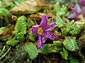 Primula juliae 2019-02-13 5620.jpg
