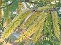 Prosopis laevigata - flowers.jpg
