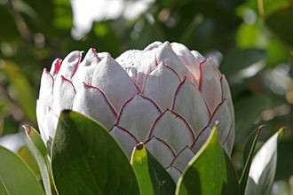 Protea cynaroides - Image: Protea flower