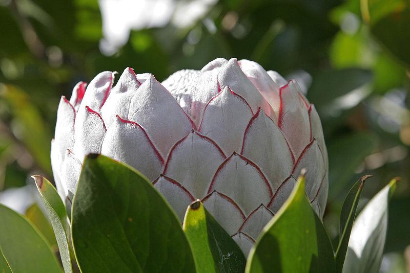 Ficheiro:Protea flower.jpg