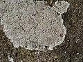 Protoparmeliopsis muralis 123764772.jpg