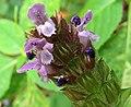 Prunella vulgaris Kiev4.jpg