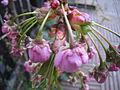 Prunus serrulata2.jpg